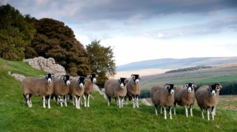 What is the difference between Lamb, Hogget & Mutton? | Farmison & Co™