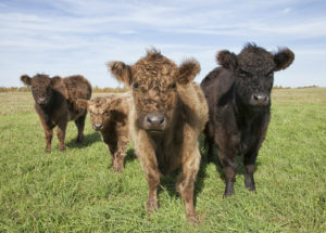 Grass Fed For Heathly Meat